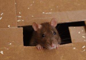 Крысы в Киеве