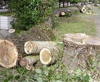Вырубка деревьев в Киеве